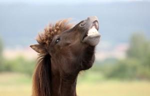 Pferd zieht die Nase hoch